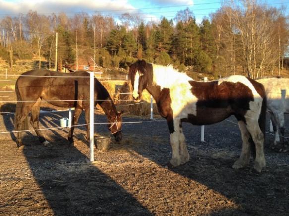 Minahästar